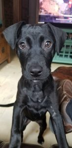 A 9-month old female black Lab/bulldog/Staffordshire terrier mix puppy